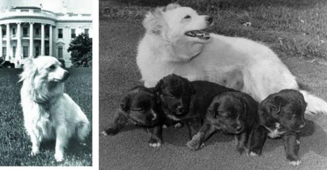 """Позже Стрелка родила щенков, один из которых был назван Пушинкой и подарен Хрущевым дочери президента Кеннеди Каролине. В США собачка закрутила роман с псом семьи Кеннеди по имени Чарли и родила четверых щенков, которых Джон Кеннеди прозвал папниками, соединив слова pup - """"щенок"""", и sputnik."""