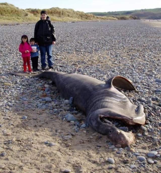 На одном из пляжей Тихого океана чилийские рыбаки нашли 13-тонную тушу морского монстра. Организм представляет собой огромное желеобразное тело серого цвета примерно 12 метров в длину и весом примерно 13 тонн. Туша уже начала разлагаться, что существенно затрудняет процесс идентификации. В ожидании ДНК-анализа ученые предполагают, что организм мог быть гигантским кальмаром, полуразложившимися останками странного разбухшего кита или осьминогом. Последняя версия кажется им наиболее вероятной.