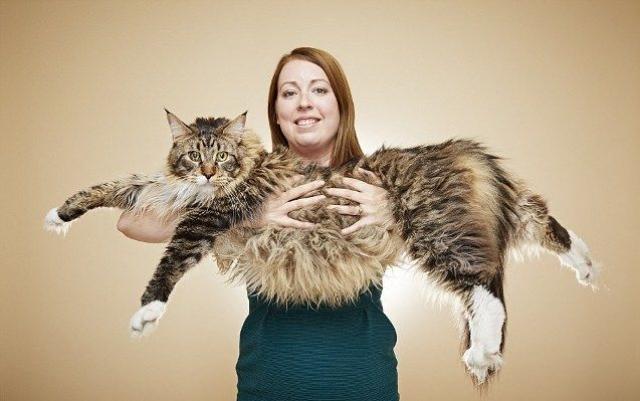 Мейнкун Лудо в три раза больше среднего домашнего кота. Его длина составляет 118,33 см от носа до кончика последнего позвонка в кончике хвоста.