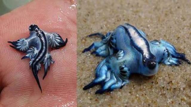Этот потрясающий морской слизняк был найден а побережье Австралии в ноябре 2015 года. Обычно моллюски этого вида не обитают у самого берега, но этот, наверное, погнался за своей любимой добычей. Питаются голубые драконы несколькими видами медуз, причем способны не реагировать на их ядовитые стрекательные клетки, а наоборот, их переваривать. Оставшиеся же от клеток жертв стрекательные капсулы служат защитным механизмом для самого моллюска. Голубые драконы ядовиты и больно жалят, так что в руки их лучше не брать.