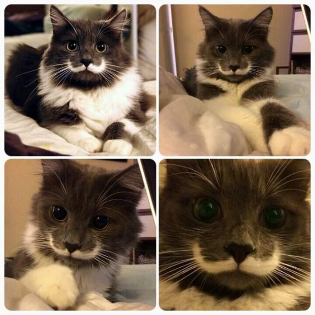Хамилтон. Этот кот прославился благодаря необычной окраской мордочки, напоминающей усы хипстера.
