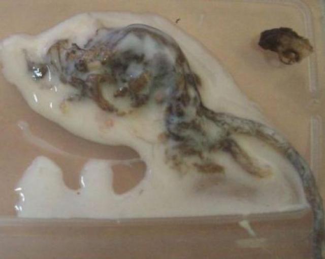 Киевлянка купила в магазине йогурт, в котором нашла разлагающуюся мышь, причем решила употребить молочный продукт, не выливая его в чашку. Как выяснилось, это оказалось большой ошибкой - она чуть не проглотила мертвое животное.