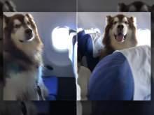 Видео с летящим в самолете маламутом покорило Сеть