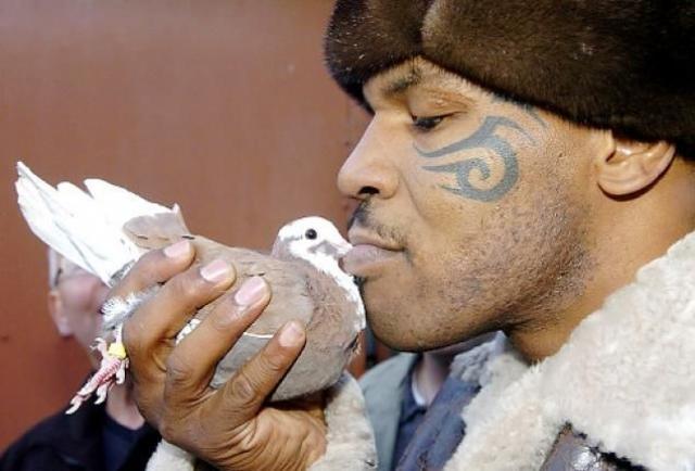 """У боксера Майка Тайсона с детства страстная любовь к голубям. По его словам, первое, что он полюбил в жизни был голубь. Он также тренирует голубей и устраивает соревнования по """"залетам"""" между ними."""