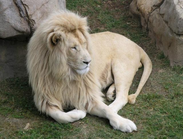 В действительности, конечно же, это фотошоп. Черных львов пока в природе встречено не было, а на оригинальной фотографии запечатлен лев-альбинос, который действительно редкий зверь.