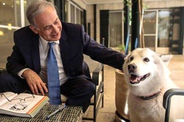 Депутат израильского парламента Шарон Хаскел, имеющая опыт работы ветеринаром, решила поиграть с собакой премьер-министра Израиля Биньямина Нетаньяху. Кайя некоторое время из вежливости отвечала взаимностью, но потом решила, что с неё хватит, и цапнула Шарон Хаскел за руку.