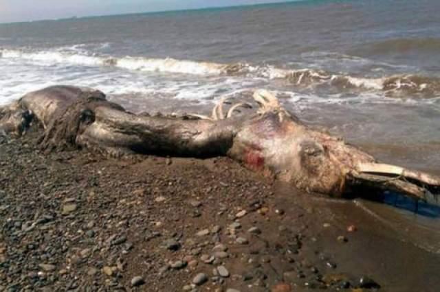 Сахалинский монстр Эти страшные останки непонятного монстра длиной в два человеческих роста вынесло на берег в июне 2015 года на севере острова Сахари в районе города Шахтёрска.