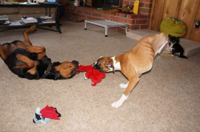 Однако пес легко обходится и двумя передними, а благодаря прогулкам на них Дункан Лу уже сумел стать звездой интернета.
