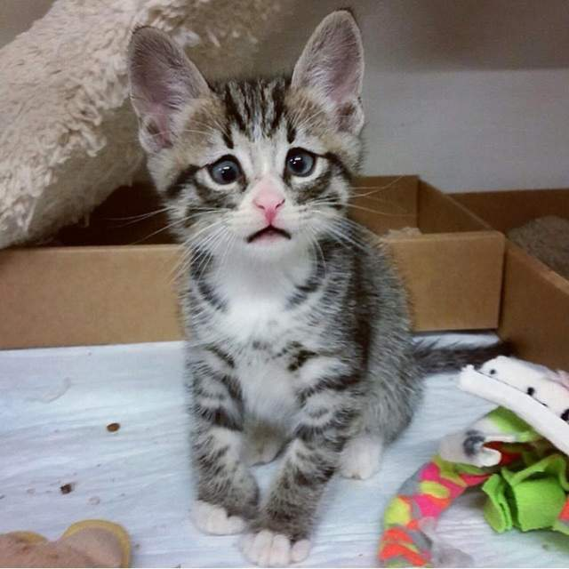 """Кот Бум. Еще будучи котенком Бум стал известен как """"Взволнованный кот"""". В 2015 году пятимесячный малыш попал в один из приютов Сан-Диего, где он сразу же покорил сердца всех местных работников, а одна из медсестер забрала его себе."""