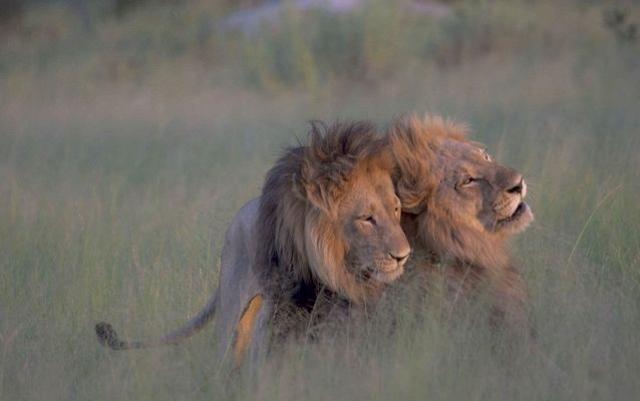 На фото были сфотографированы геи-жирафы, геи-обезьяны, даже геи-киты - всего нескольких сотен видов животных.