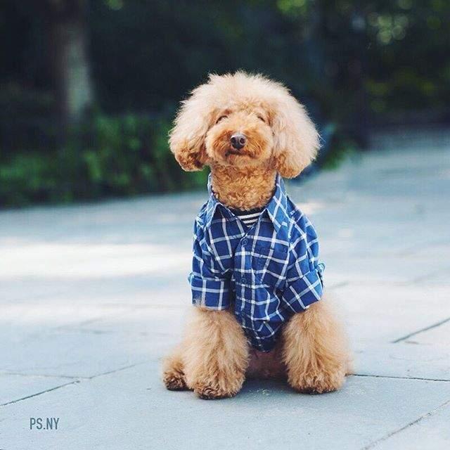 Пес Куки , напротив, стал знаменит благодаря тому, что походит на плюшевую игрушку. Хозяйка фотографирует питомца в модных образах, продвигая линию одежды для собак.