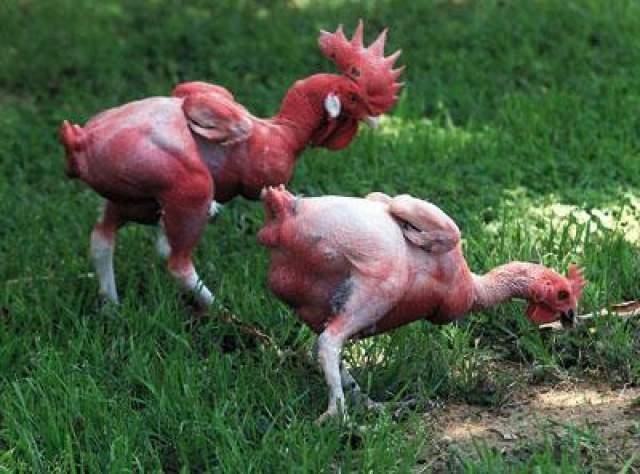 Непризнанный гений. У Шора было множество гениальных идей, но он мечтал найти курицу, которая будет нести ему золотые яица. И он встретил эту курицу в буквальном смысле. Осип нашел ее на дороге, и что-то в ее внешнем виде было неприличное - она была без единого перышка. Впереди их ожидало прекрасное будущее на сельскохозяйственной выставке. лысая курица стала знаменитостью. Одесские газеты разнесли весть об удивительном открытии отечественны селекционеров, мечте поваров и домохозяек - курице, которую не надо ощипывать!