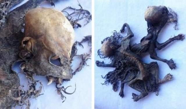 В Чили обнаружены останки неизвестного существа. Чупакабра? Останки неизвестных животных нашел работник фермы Брицио Сальдивар. Они находились на сене в сарае старого винного завала небольшого городка Монте-Партия, что на востоке чилийской провинции Лимари.