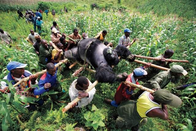 Горилла в Конго, Брент Стиртон, 2007. Продажные смотрители национального парка убили несколько горилл, чтобы наказать тех, кто мешал торговле древесным углем.