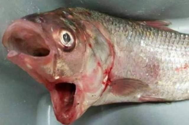 Рыба-мутант с двумя ртами Диковинную рыбу поймал опытный рыбак с тринадцатилетним стажем Гарри Уоррик из Южной Австралии. Он поведал, что за всю жизнь ему не попадалась подобная рыбина. Рты соединены между собой, причем нижний все время открыт, а верхний может закрываться.