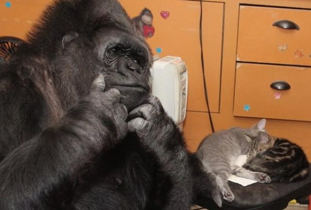 Коко может показать более 1000 слов и более 2000 слов способна понять, может рассказывать о своих чувствах, говорить об отвлеченных понятиях, может даже пошутить, причем довольно остроумно.