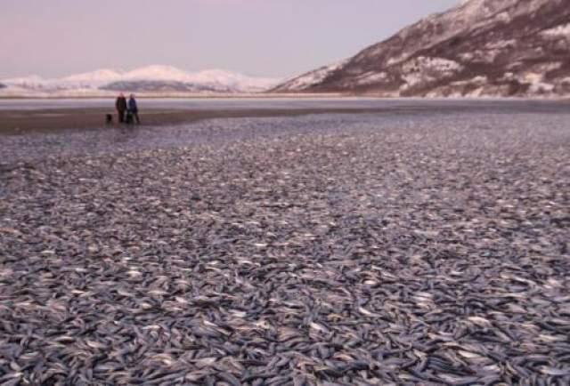 Берега Норвегии омылись рыбой в канун Нового года В 2012 году тысячи мертвых сельдей покрыли берега северной Норвегии, а затем еще более странным образом исчезли.