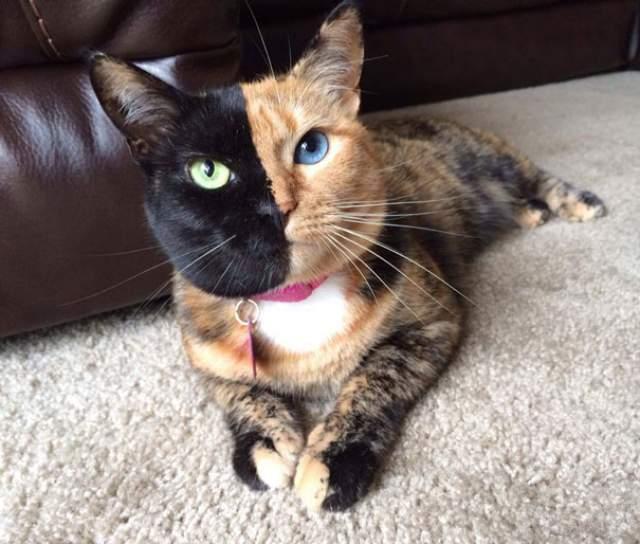 Кошка Винус из Южной Каролины прославилась благодаря необычной окраске мордочки, четко разделенной на две половины.