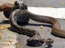 Фото исхода смертельной схватки гигантской кобры и питона ужаснуло Сеть