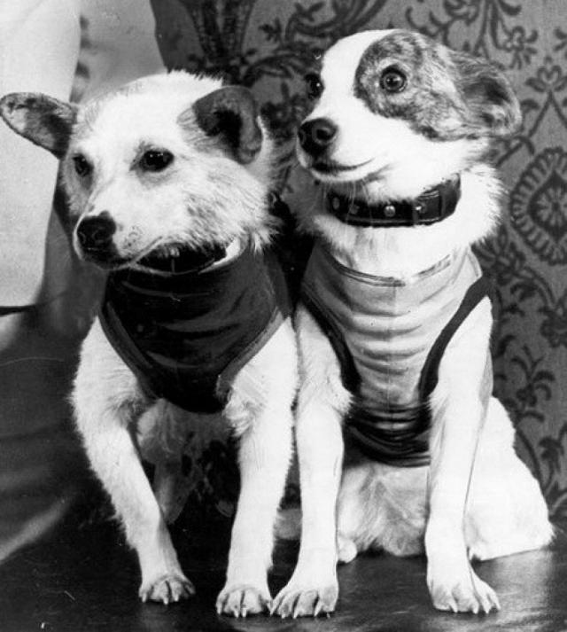 """Многие знают, что Белка и Стрелка стали первыми собаками-космонавтами СССР, совершившими 25-часовой орбитальный космический полет на корабле """"Спутник-5"""" и вернувшимися на Землю невредимыми."""