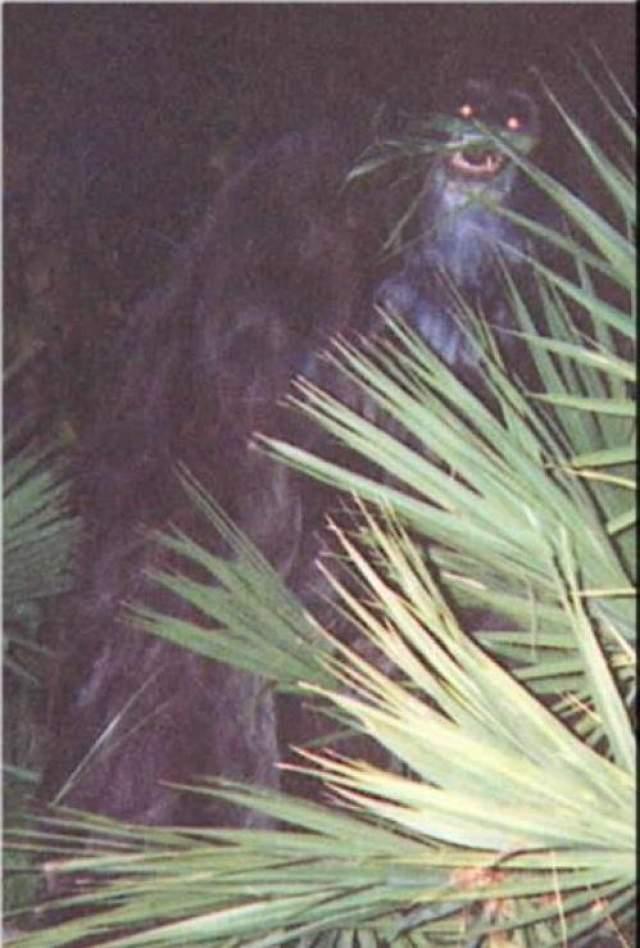 Обезьяна-скунс В 2000 году женщина, пожелавшая остаться неизвестной, сделала две фотографии загадочного существа и отправила его шерифу округа Сарасота (Флорида). К фотографиям прилагалось письмо, в котором женина уверяла, что сфотографировала странное существо на заднем дворе своего дома. Существо приходило к ее дому три ночи подряд и воровало оставленные на террасе яблоки.