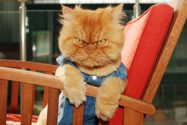 Кот Гарфи. Рыжий перс - конкурент Grumpy Cat из Турции. Он прославился как самый сердитый и злой кот в мире из-за особой формы бровей, придающей его мордочке подобное выражение.