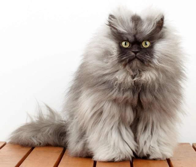"""Свою известность кот получил за пушистость, """"недовольный"""" вид и недовольные комментарии на собственной странице в Фейсбуке. После этого Полковник Мяу даже попал в книгу рекордов Гиннесса благодаря самой длинной шерсти у котов."""