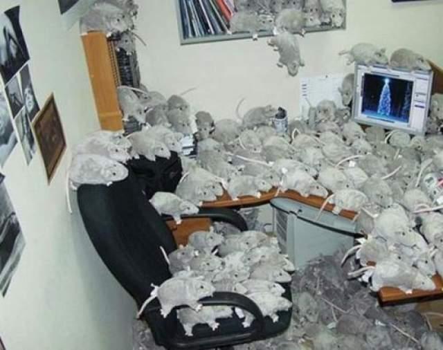 Забросайте рабочее место игрушечными крысами