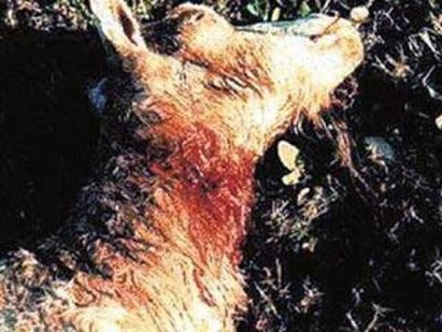 Чупакабра кровопийца Странные явления начали происходишь в середине 20 века на американском континенте: на животных напал настоящий мор. Тысячи кошек, собак, коз, овец, цыплят, кроликов, уток и гусей, находили бездыханными с одними и теми же признаками насильственной смерти.