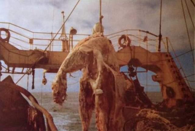 """Туша Дзуйе-Мару 25 апреля 1977 года японский рыболовный траулер """"Дзуйе-Мару"""", плавающий у побережья Новой Зеландии, обнаружил в воде мертвое морское животное неподалеку от берега."""