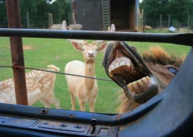 Спасайтесь, это олени!
