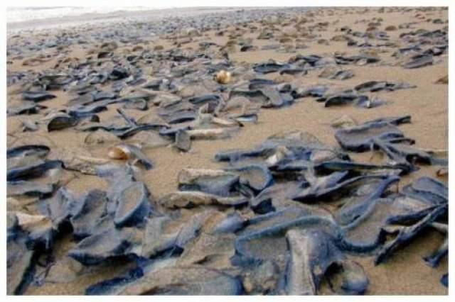 """Миллиарды странных существ наводняют пляжи Соединенных Штатов Невероятное количество существ, известных как """"велелла"""", было прибито к западному побережью в Калифорнии."""