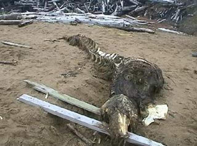 Впрочем, зачастую таинственные находки все же имеют свое объяснение. Так, около села Танги на северной и практически непроходимой оконечности острова Сахалин рыбаки обнаружили тушу огромного морского зверя, которого они идентифицировали, как палеозавра - животное, жившее миллионы лет назад, в Юрском периоде.