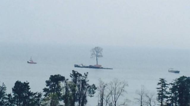 Огромный тюльпановый лириодендрон выкопали из приморского села Цихисдзири вместе с корневой системой, после чего по специально насыпанной дороге доставили на берег моря и погрузили на судно.
