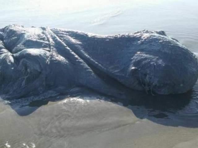 На берег, видимо, это существо попало с сильным течением, затем недолго полежало на солнце и погибло. Есть предположения, что это был гигантский муштровавший кальмар или осьминог.