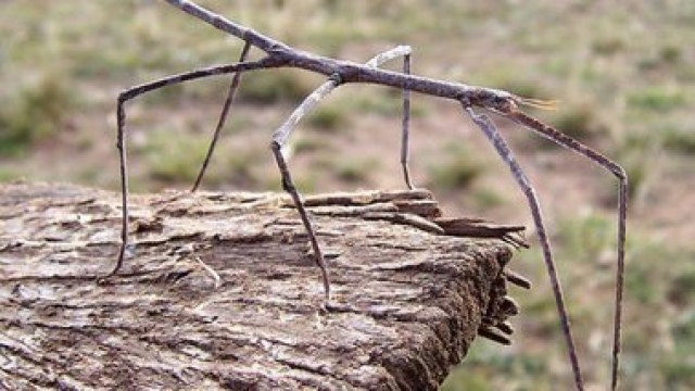 В горах Китая нашли насекомое размером с ребенка. Живое существо относится к семейству палочниковых.