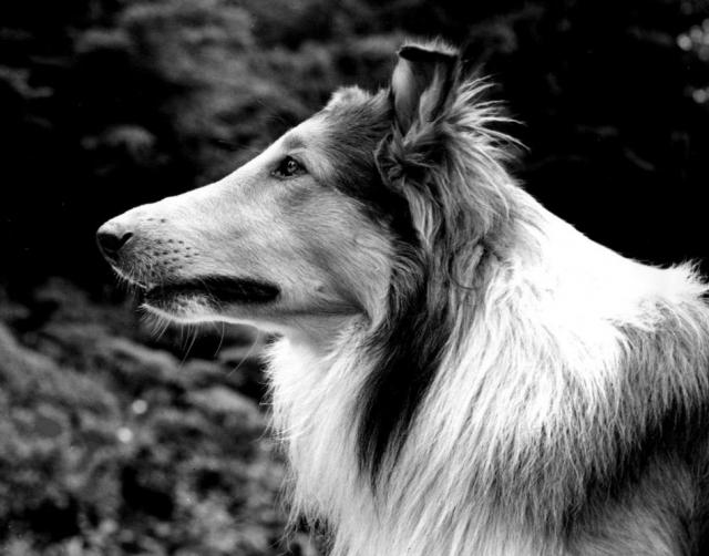Колли Пэл. Самая долгоиграющая собачья история в кино связана с колли Лесси. Вымышленная собака стала героиней по меньшей мере пяти сериалов и трех десятков полнометражных картин.