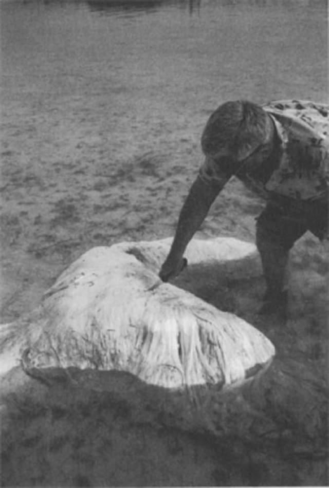 """В мае 1988 года на мелководье Мангового залива самого крупного из Бермудских островов были обнаружены останки крупного животного, получившие навзвание """"Бермудский блоб"""". Местный рыбак Тэдди Такер описал тушу, как """"2, 5-метровую 70 см в толщину, очень белую и волокнистую, с пятью конечностями, наподобие бесформенной звезды"""". Ни костей, ни хрящей, ни отверстий, ни запаха. Трое мужчин не смогли перевернуть тушу. От нее было невероятно трудно отрезать хотя бы небольшой кусочек."""