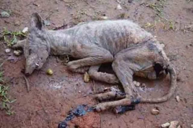 Быстро прозвав ее чупакаброй, он вызвал учебных и те, забрали неизвестного зверя для исследований. Позже по исследованиям ДНК выяснилось, что это очень старый лысый койот.
