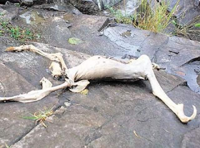 Версий было много: и что это инопланетянин, и что какой-то неизвестный науке вид, и что это облысевший ленивец... Ученые провели биопсию останков и через несколько дней сообщили, что Панамский монстр был действительно самцом бурогорлого ленивца, в результате подводного разложения потерявшего волосы.