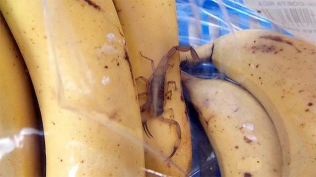 В 2014 году Анджела Паррен обнаружила в пакете с бананами живого скорпиона.