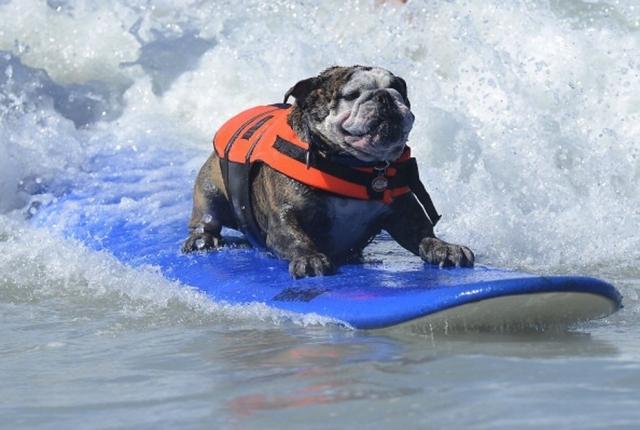 Собачий серфинг. Собаки умеют держаться на доске порой получше людей, поэтому такие соревнования проводятся довольно часто.