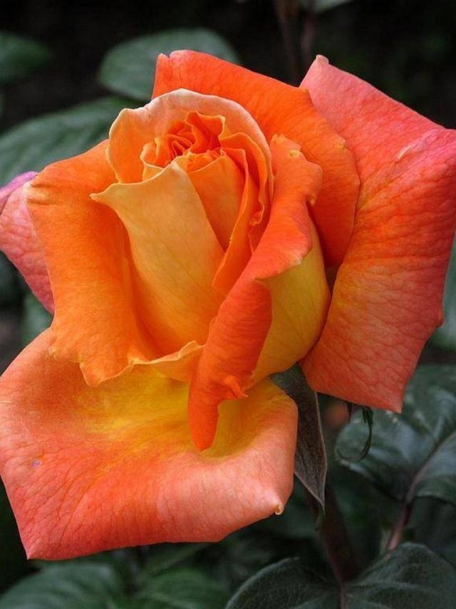 Ему удалось вывести новый сорт ярких оранжевых роз, названный его именем - La rose du Louis de Funes