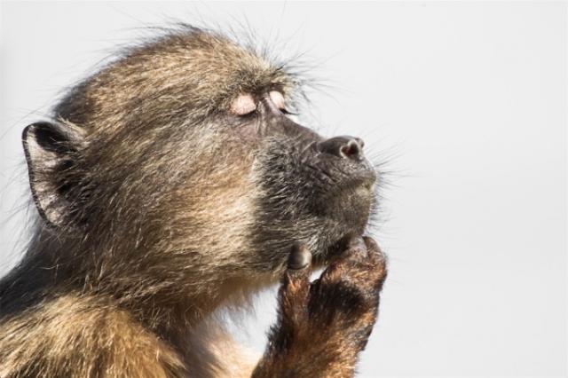Почетное упоминание Задумчивый бабуин в заповеднике Кейп-Пойнт в Южной Африке.
