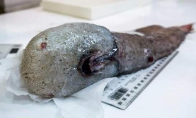 Неизвестное существо было обнаружено на дне Тасманова моря. Специалисты в ходе исследования нашли рыбу без глаз, носа и рта.