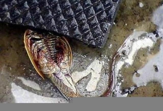 Рыбаки из Донецкой области в одном из прудов выловили неизвестное существо, которое, судя по записи, состоит из хвоста и плоского круглого туловища, покрытого панцирем, под которым скрываются многочисленные шевелящиеся ножки.