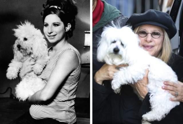Барбра Стрейзанд, 76 лет. Актриса клонировала свою умершую собаку. Барбра Стрейзанд клонировала свою умершую собаку Сэмми редкой породы котон-де-тулеар, которая прожила с нею 14 лет и «была ей как дочь». Теперь у актрисы 3 собаки: 2 клона Сэмми — Скарлетт и Вайолет — и еще одна по кличке Мисс Фанни.