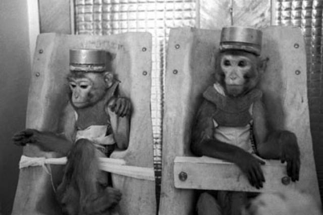 Через год пришло время возвращаться домой: 13 оплодотворенных обезьян Иванов повез сначала в Марсель, а позже перевез в Сухуми, где уже через три месяца с таким трудом добытые обезьяны погибли. При вскрытии животных беременности у самок обнаружено не было.