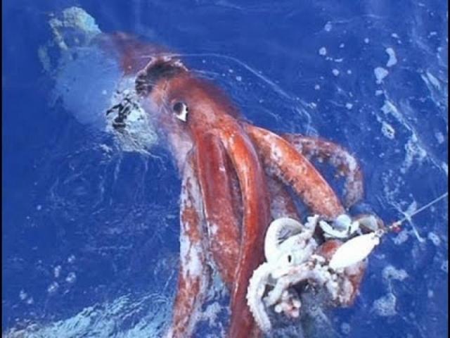 Обычно кальмары не подплывают к людям и живут на очень больших глубинах, достигая размеров 16 метров и больше.