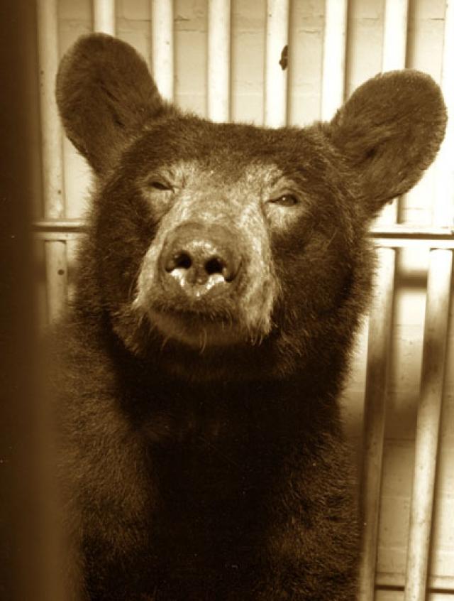 Медведица Йоги. Первое животное, выполнившее сверхзвуковое катапультирование на высоте 10 км и скорости 1400 км/ч.